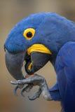 Hyacinth Macaw Anodorhynchus-hyacinthinus Lizenzfreie Stockfotos
