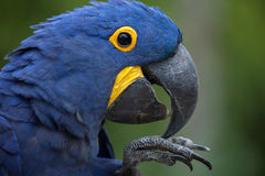 Hyacinth Macaw Anodorhynchus-hyacinthinus royalty-vrije stock afbeelding