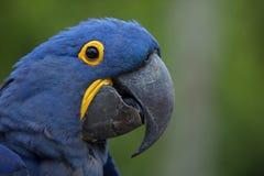 Hyacinth Macaw Anodorhynchus-hyacinthinus Stockfoto