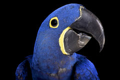 Hyacinth macaw (Anodorhynchus hyacinthinus). The Hyacinth macaw (Anodorhynchus hyacinthinus) is the biggest parrot species in the world. They are able to crack Royalty Free Stock Image