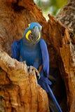 Hyacinth Macaw, Anodorhynchus hyacinthinus, blue parrot. Portrait big blue parrot, Pantanal, Brazil, South America. Beautiful rare. Bird in the nature habitat Stock Images