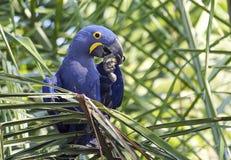Hyacinth Macaw (Anodorhynchus hyacinthinus) Royalty Free Stock Photography