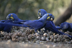 Hyacinth macaw,  Anodorhynchus hyacinthinus, Stock Image
