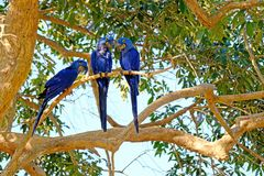 Hyacinth Macaw, Anodorhynchus Hyacinthinus, of Hyacinthine-de Ara, Pantanal, Mato Grosso doen Sul, Brazilië stock afbeelding