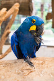 Hyacinth macaw (Anodorhynchus Hyacinthinus) or Hyacinthine macaw Royalty Free Stock Image