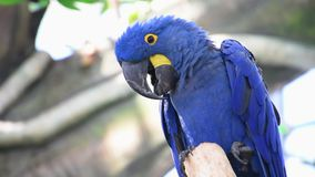 The hyacinth macaw Anodorhynchus hyacinthinus, or hyacinthine macaw or blue macaw perched on a branch in South America. The hyacinth macaw Anodorhynchus stock video