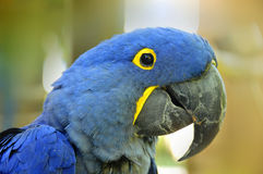 The Hyacinth Macaw Royalty Free Stock Images