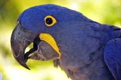 The Hyacinth Macaw Royalty Free Stock Photos