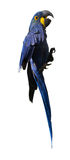 Hyacinth macaw. (Anodorhynchus hyacinthinus), over white background royalty free stock photo