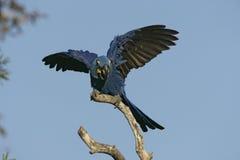 Hyacinth macaw, Anodorhynchus hyacinthinus Stock Image