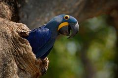 Hyacinth Macaw, Anodorhynchus hyacinthinus, in tree nest cavity, Pantanal, Brazil, South America Royalty Free Stock Photos
