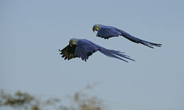 Hyacinth macaw, Anodorhynchus hyacinthinus Royalty Free Stock Photography