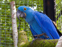 Hyacinth macaw (Anodorhynchus hyacinthinus) Royalty Free Stock Photography