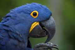 Hyacinth macaw (Anodorhynchus hyacinthinus). stock photography