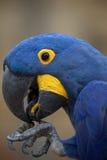 Hyacinth macaw Anodorhynchus hyacinthinus. Stock Images