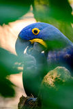 Hyacinth macaw (Anodorhynchus hyacinthinus). Hyacinth macaw from zoo zlín royalty free stock image