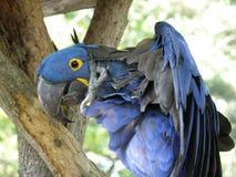 Hyacinth Macaw avec un démangeaison dans un arbre photographie stock libre de droits