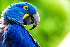 Hyacinth Macaw. The Hyacinth Macaw bird (Anodorhynchus hyacinthinus), or Hyacinthine Macaw, is a parrot native to central and eastern South America which is Stock Photos