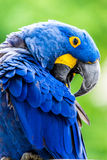 Hyacinth Macaw. The Hyacinth Macaw bird (Anodorhynchus hyacinthinus), or Hyacinthine Macaw, is a parrot native to central and eastern South America which is Stock Photo