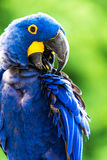 Hyacinth Macaw Stock Images