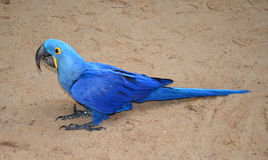 Hyacinth macaw blue bird parrot Royalty Free Stock Images