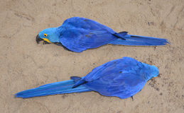 Hyacinth macaw blue bird parrot Stock Image