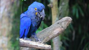 Hyacinth Macaw Chewing Wood stock footage