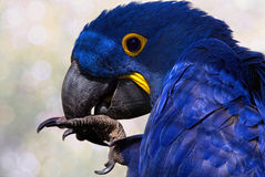 Hyacinth Macaw. Cleaning his claws Royalty Free Stock Image