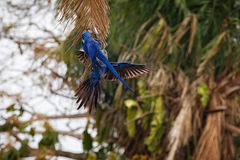Hyacinth macaw close up on a palm tree in the nature habitat Stock Photography