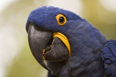 Hyacinth Macaw Closeup Royalty Free Stock Image
