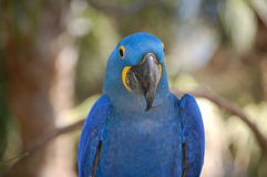 Hyacinth Macaw with copy space Stock Photos