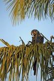 Hyacinth Macaw dans le palmier Images libres de droits