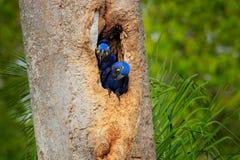 Hyacinth Macaw, deux oiseaux nichant, en cavité de nid d'arbre, Pantanal, Brésil, Amérique du Sud Portrait de détail de beau gran Photos stock