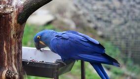 Hyacinth Macaw Eats Seeds stock footage