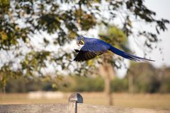 Hyacinth Macaw in flight. A blue Macaw in flight Stock Photo