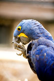 Hyacinth macaw Royalty Free Stock Photos