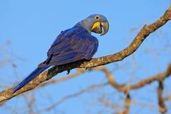 Hyacinth Macaw, hyacinthinus d'Anodorhynchus, grand perroquet bleu se reposant sur la branche avec le ciel bleu-foncé, Pantanal,  photo stock