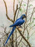 The Magnificient Hyacinth Macaw stock image