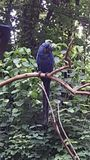Hyacinth Macaw 2 Royalty Free Stock Photo