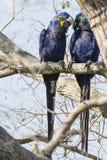 Hyacinth Macaw Pair Whispering salvaje el uno al otro en árbol Imágenes de archivo libres de regalías