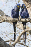 Hyacinth Macaw Pair Whispering selvagem entre si na árvore Imagens de Stock Royalty Free