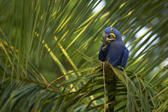 Hyacinth macaw in a palm tree Royalty Free Stock Photos