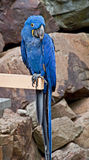 Hyacinth Macaw Parrot Bird Royalty Free Stock Images