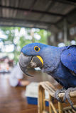 Hyacinth macaw parrot. Blue hyacinth macaw parrot face Royalty Free Stock Photo
