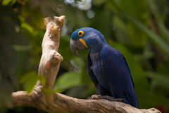 Hyacinth macaw parrot Royalty Free Stock Photography