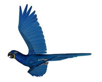 Hyacinth macaw, parrot, flying - 3D render. Hyacinth macaw, parrot, flying isolated in white background - 3D render Stock Photos