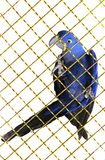 Hyacinth macaw  parrot Royalty Free Stock Photo