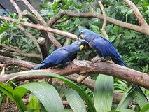 Hyacinth macaw. The hyacinth macaw is a parrot native to central and eastern South America royalty free stock photo