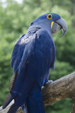 Hyacinth Macaw. A Hyacinth Macaw Parrot at the Omaha Nebraska Zoo exibit of birds. This birds name is Maya hatched in 1999 stock photo