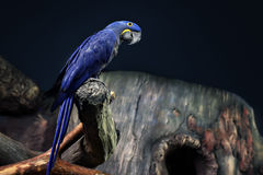 Hyacinth Macaw parrot portrait Royalty Free Stock Image